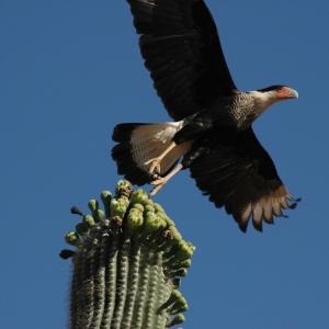 Crested caracara taking flight from saguaro