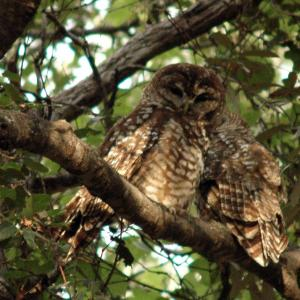 Pair of spotted owls in the Sierra Oposura