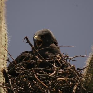 Zone-tailed hawk in nest built in saguaro